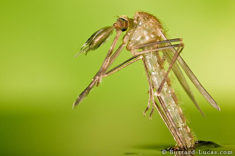 hatching_mosquito